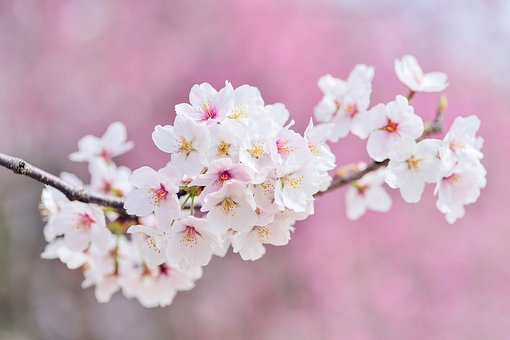 着物の柄の意味②:桜